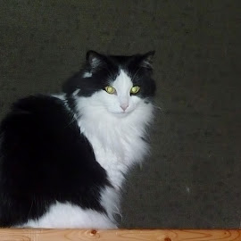 Roxie cute as always at the cabin by Sue Law - Animals - Cats Portraits (  )