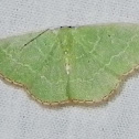 Catachloa Emerald Moth