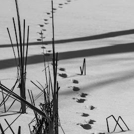 Winter trail by Pierre Tessier - Nature Up Close Leaves & Grasses ( winter, black and white, snow, path, shadows,  )