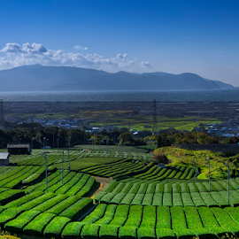 Tea Farm by Nyoman Sundra - Landscapes Prairies, Meadows & Fields ( farm, japan, yamanashi, landscape, tea )
