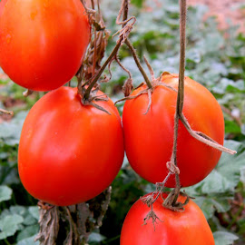 Romas by Liz Hahn - Nature Up Close Gardens & Produce