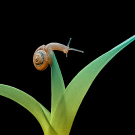 pose by Edy Pamungkas - Animals Other ( #macro#snail )