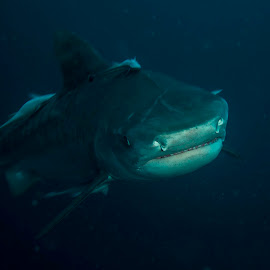 Too close for comfort by Stuart Skene - Animals Sea Creatures ( marine, tiger, underwater, scuba, dive, shark )