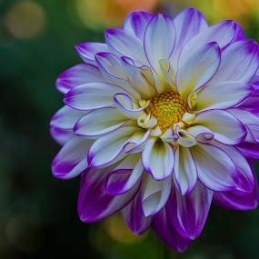 by Karen Celella - Flowers Single Flower ( wild, purple, dahlias, yellow, flowers, garden, bayard cutting, color )