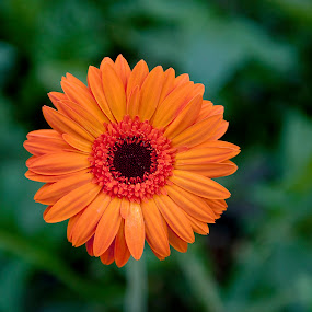 Orange flower by Manal Ali - Flowers Flower Gardens ( orange, flowers, garden, flower,  )
