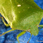 Southern Green Stink Bug (USA) or Green Vegetable Bug (Australia & New Zealand)