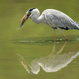 Grey Heron fishing by Ken Goh - Animals Birds