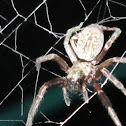 Australian Grey House Spider
