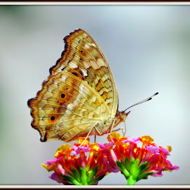 蛇眼蛺蝶 Junonia lemonias by Kwong Chung-man - Animals Insects & Spiders