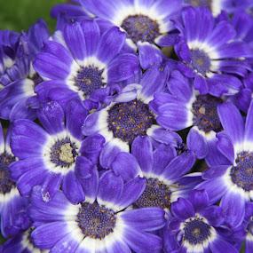 lilases by Graça Cortez - Flowers Flower Arangements ( flower, bouquet,  )