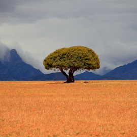 Single Tree MoN by Tyrone Crous - Landscapes Prairies, Meadows & Fields ( tree, single tree, south africa, landscape, africa )
