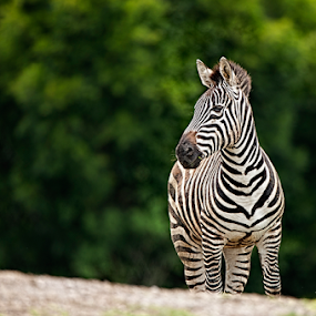 Zebra by Cristobal Garciaferro Rubio - Animals Other Mammals ( field, zebra, bokeh )