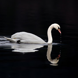 Mute Swan by Tore Tangen - Animals Birds ( bird, mute swan, white, cygnus olor, black, norway )