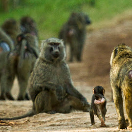 Family by Dani Blanchette - Animals Other Mammals ( animals, baboons, nature, monkeys, family, kenya, baby animals, africa, primates,  )