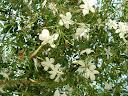 Fotos Gratis  Naturaleza - Flores - Jazmín