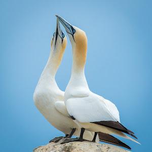 gannets together-5.jpg