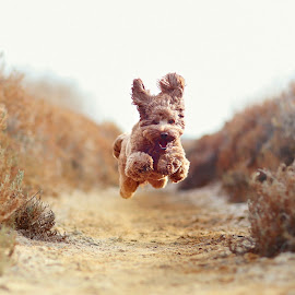 Puppy Air by Kathy Colman - Animals - Dogs Running ( #showusyourpets, dog running, labradoodle, dog in nature, dog jumping, dog, #garyfongpets )