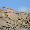 The Indian house sparrow