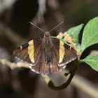 Golden-banded Skipper