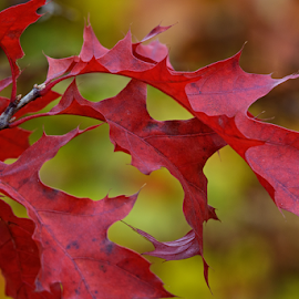 Autumn Red by Jill Beim - Nature Up Close Leaves & Grasses ( red oak, red, autumn, fall, leaves, color, colorful, nature,  )