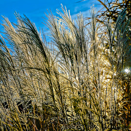 Long Grass by Barbara Brock - Nature Up Close Leaves & Grasses ( meadows, sun flare, fields, long grass )