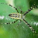Wasp spider (female), Tygrzyk paskowany (samica)