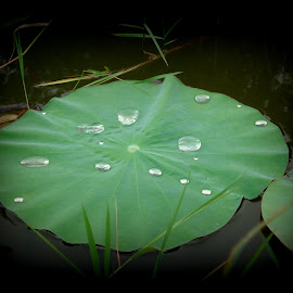 lotus leaf and water drops.. :) by Yashoda Patil - Nature Up Close Other Natural Objects