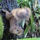 Squirrel Caxinguele