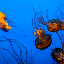 by Ivo Tunchel - Animals Sea Creatures ( blue, orange. color )