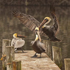I Give Up by Sandy Friedkin - Animals Birds ( food, waiting, pelicans, fighting, dock,  )