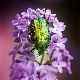 beetle by Dorota Adamska - Animals Insects & Spiders ( beetle,  )