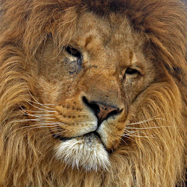 Portrait of a male Lion by John Davies - Animals Lions, Tigers & Big Cats ( king of the jungle, lion, big cats, whf, wildlife heritage foundation, lion portrait )