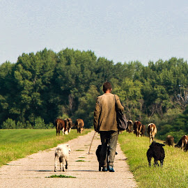 shepherd by Goran Matejin - People Portraits of Men ( shepherd, dogs, nature, watching, forest, road, cows )