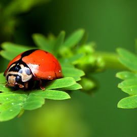 Little Beetle. by Benson Chee - Animals Insects & Spiders