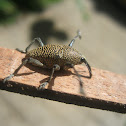 Cholus Weevil