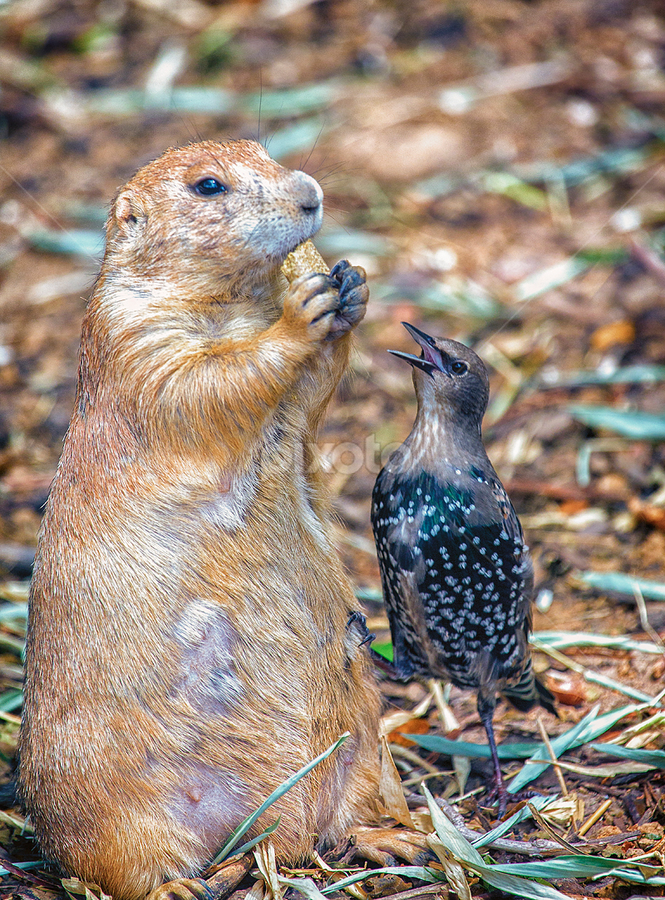 Can You Spare A Nut? by Bill Tiepelman - Animals Birds ( peanut, starling, forest park, arch, saint louis zoo, feathered friend, saint louis, interaction, feathers, ground squirrel, bird, prairie dog, missouri, zoo, beak, nut, brown, rodent, dog, animal,  )