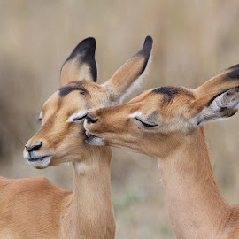 Impala love by Eleanor Spies - Animals Other Mammals