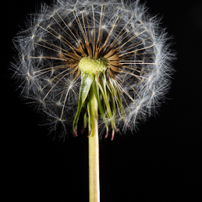 Dandelion by MIGUEL CORREA - Flowers Single Flower ( flash, dandelion, seed, seeds, flower )