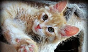 Screenshot of KittyWall FREE -LiveWallpaper
