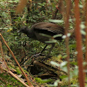 Superb Lyrebird (male)