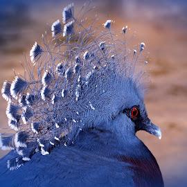 Victoria Crowned Pigeon by Jadwiga Dabrowski - Animals Birds ( crowned, bird, blue )