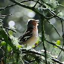 Common Chaffinch, Pinzón vulgar