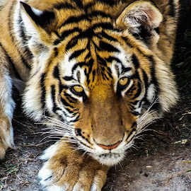 Tiger Eyes by ChriStiaan Sales - Animals Lions, Tigers & Big Cats ( big cat, wild animal, cat, tiger, wildlife, eyes, animal )