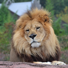 Lion by Nibia Orona - Animals Lions, Tigers & Big Cats ( big cat, king of the jungle, lion, lone lion, zoo, leo, king, animal,  )