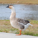 Domestic Swan Goose
