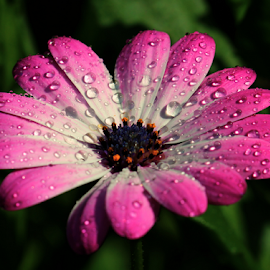 by Dipali S - Flowers Single Flower ( water, purple, botany, daisy, beauty, leaf, close-up, osteospermum, focus on foreground, nature, color image, fresh, single flower, outdoors, drops, day, flower )