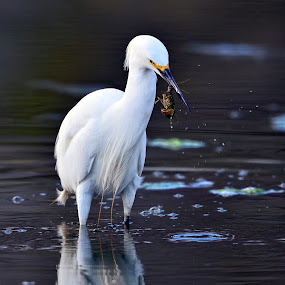 Snowy Egret 2  by Cody Hoagland - Animals Birds ( water, utah, birds, egret )