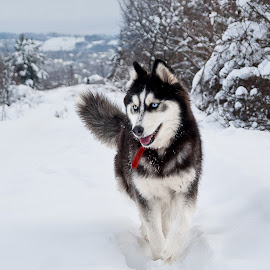 Maya by Alex Florea - Animals - Dogs Running ( dog.husky )