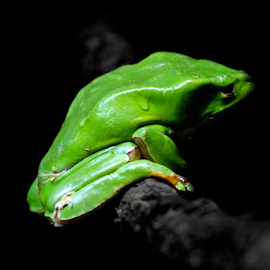 Slimy Smirk by Vitor Mauad - Animals Amphibians ( selective color, frog, green, amphibian, animal,  )