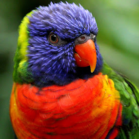 Rainbow Lorikeet by Ralph Harvey - Animals Birds ( bird, rainbow lorikeet, wildlife, ralph harvey, bristol zoo )